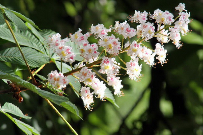 Цветы конского каштана