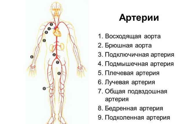 Все артерии