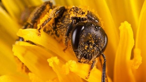 Как проводится лечение пчелами варикоза